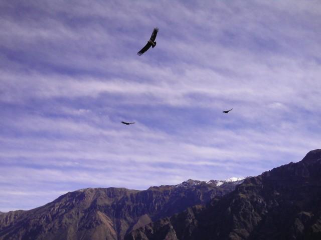 Condors_colca
